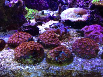 软珊瑚礁岩生态缸 LPS Reef Tank -180矮缸,混养记入