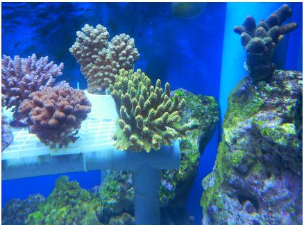 蓝海水族新到印尼少量特价绿富士脑,油彩富士脑,荧光绿飞盘,明天上图