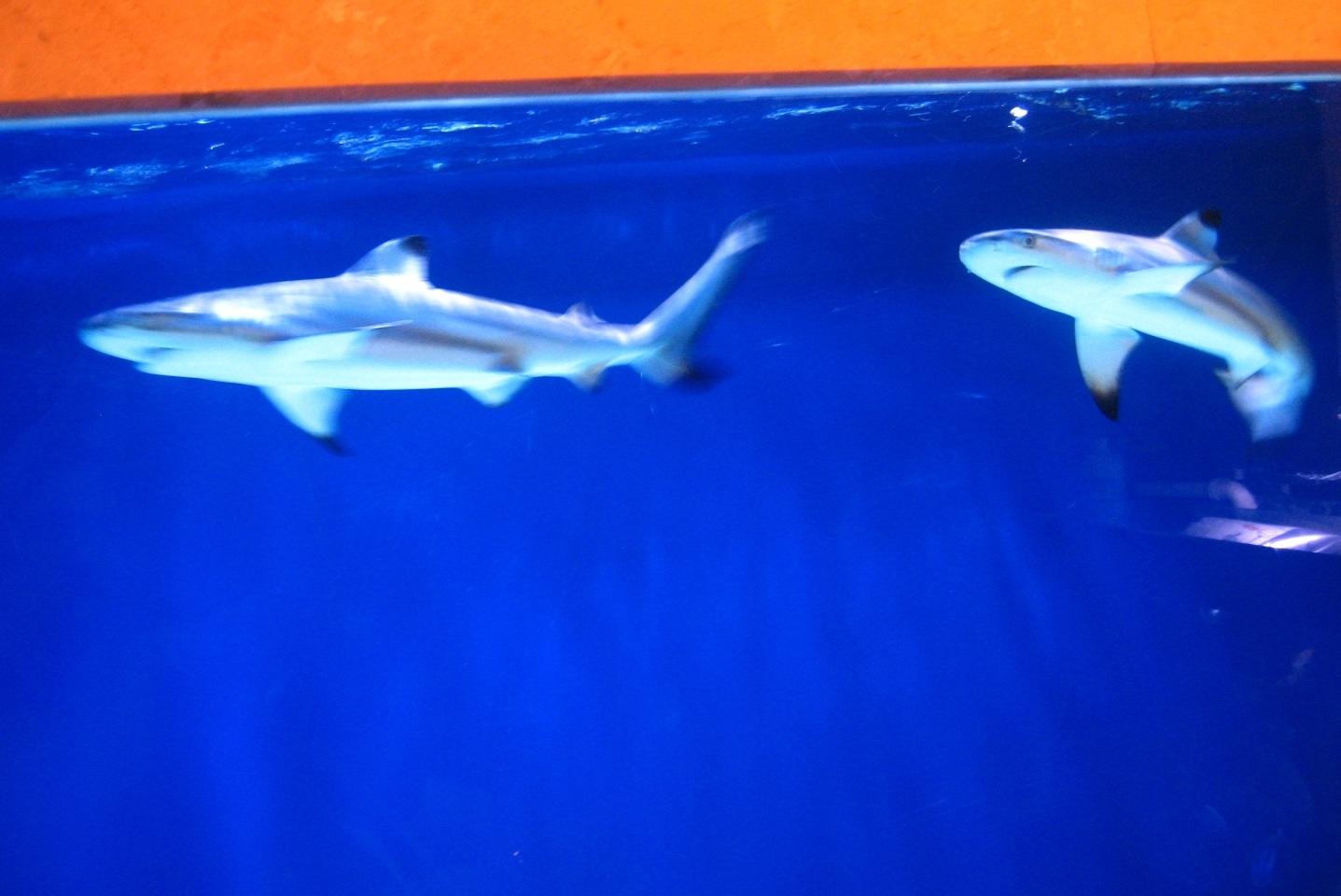 泡泡泥鲨鱼做法步骤