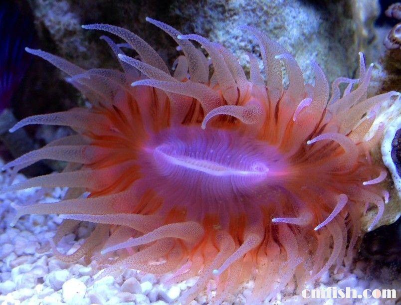 大嘴巴珊瑚