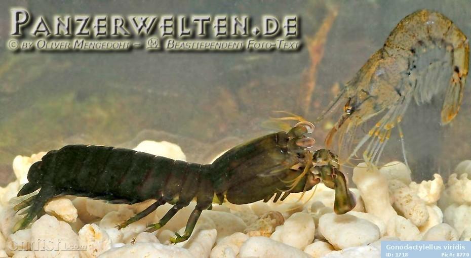 求大家帮忙看看这个是什么螳螂虾~~~~~ - 无脊椎动物