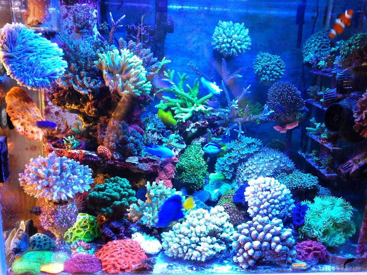 主要是想尝试一下除外柏林活石开缸,ZEO和ATS之外,别的方法是否可以成功饲养硬骨珊瑚,并记录材料,和广大鱼友一起探讨。珊瑚的快速生长和鱼类的健康与海水ph的稳定息息相关,我自己研发的石灰水海缸ph稳定器,作为钙反,滴定的搭档,经过近一年的不断改进完善,已经有小批量的成品了。 2014年8月开缸。此缸开缸没有经历爆藻白化阶段,开灯养水一周即下生物。前期受超低营养盐困扰,珊瑚白化脱色,根据情况逐步调节,慢慢走向正规,珊瑚逐步开始健康成长。大家可以看到开缸初期的珊瑚基本上到后期都得到了健康的生长,包括LPS。