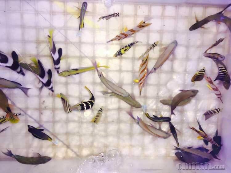 晟軒水族大量生物到货 附图 大量蓝魔,大量青魔,大量紫罗兰,大量蓝眼海金鱼,大量双色草莓,紫草莓,大量小丑吓唬,大量清洁虾,大量假绵羊虾,金头虾虎,林哥虾虎,珍珠鬼王,西瓜刨,大量人工公子,大量红小丑,大量金透红,野生公子,大量紫雷达,雷达,橙花园鳗,趴趴龙,大量五彩青蛙,大量圆点青蛙,黄金吊,蓝吊,食苔吊,纹吊,大凡吊,魔鬼炮弹,小丑炮弹,三间火箭,粉蓝吊,七彩吊,刺屯,毕加索小丑,白金小丑,黑武士小丑,马粪海胆,蓝礼服海胆,大量机械虾,火焰虾,大量五爪贝,大量太平洋砗磲贝,大量超绿小榔头,大量炮仗花,