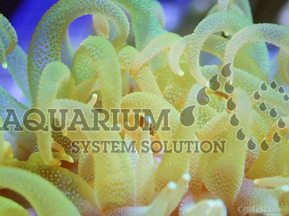今天要分享的珊瑚品种是:章鱼足珊瑚(又称大嘴巴) 树珊瑚科 虽然它看起来像海葵一样,但其实是一种具有坚硬骨骼的石珊瑚(单体性珊瑚)。它是各种喜阴性珊瑚中人气最高的品种之一。此类珊瑚本体体型较大并且水螅体较长,当直径达到10~15cm时会变得很大,它的全开状态将水族箱内一道相当吸引人的美景。颜色类型有红色、粉红色、白色、黄色、黄绿色等。其中黄色个体特别珍稀。养殖方面必须使用水族箱专用的冷却器来维持20~23的水温(一旦超过这个水温珊瑚就会死去)。在转移进水族箱后,应将水流稍微加强一点。此类珊瑚与其他