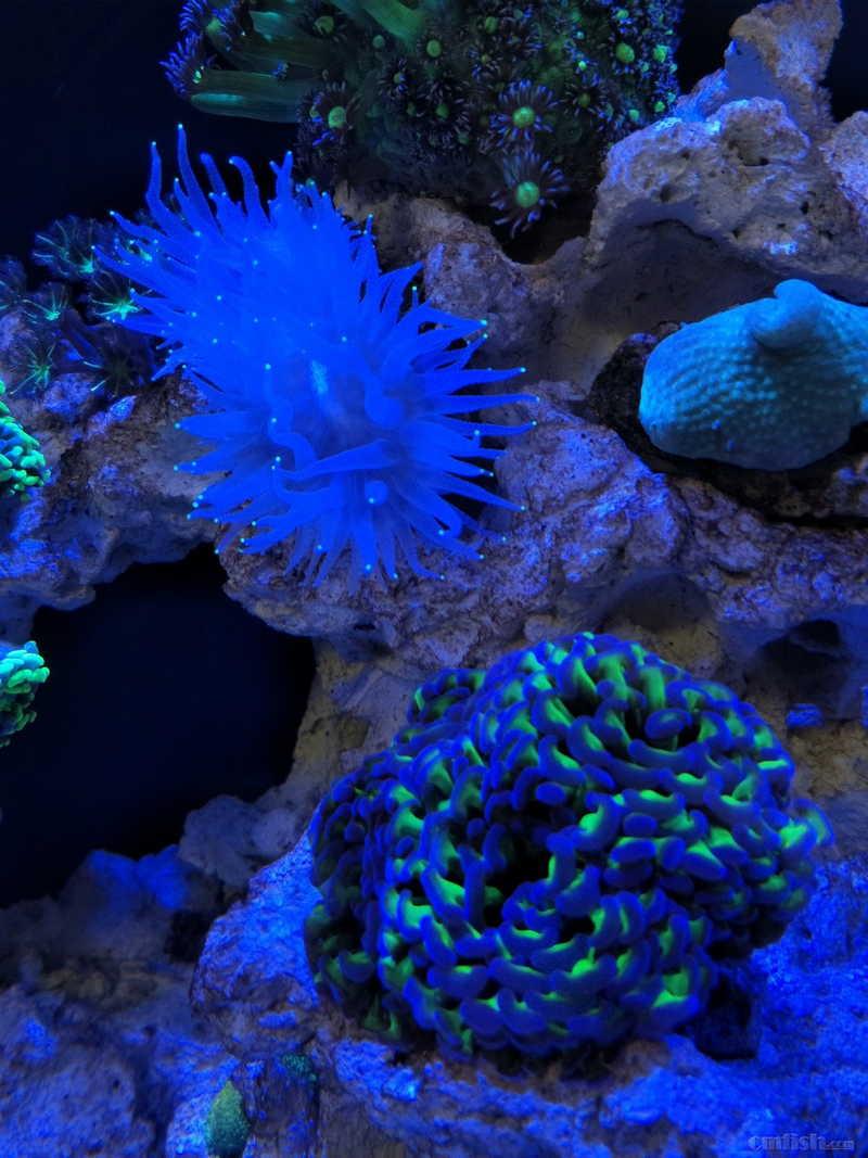 佛山南海 出售几个珊瑚 只限自提 澳洲38头灯琴(基石约8~10CM,纯活石底座,超棒) 800 橙色短须飞盘 200 印尼珍珠气泡(底座5cm,肉身10~12CM) 550 澳洲糖果脑 280 纯白荧光抓须大嘴巴 380 价格已经很低,有兴趣的加QQ:948947
