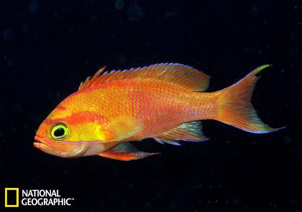 奇异海洋新鱼类:蛇鳗利牙撕咬比目鱼(组图)