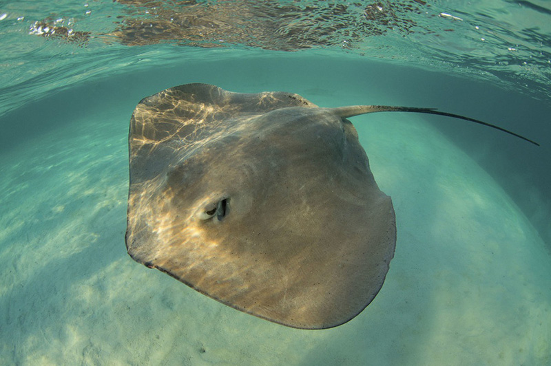 黄貂鱼与潜水者零距离合影