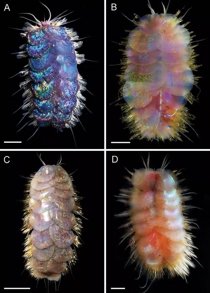 五彩斑斓的深海鳞片蠕虫
