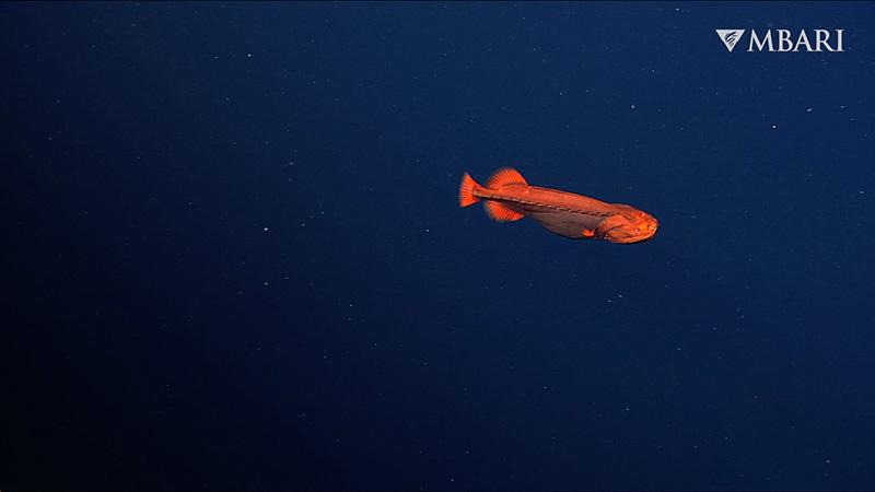 """蒙特利湾发现""""橙色幽灵鱼""""Whalefish"""