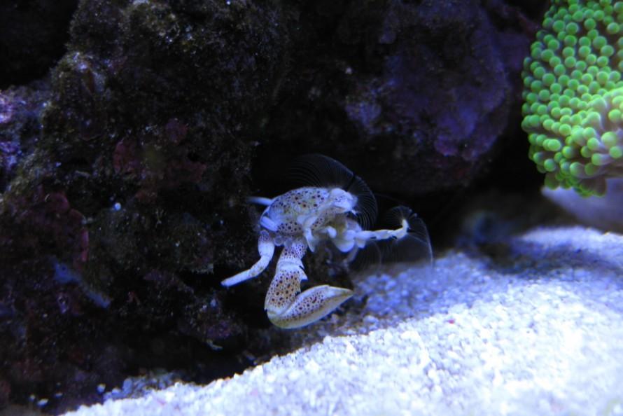 疗伤的海葵蟹.jpg