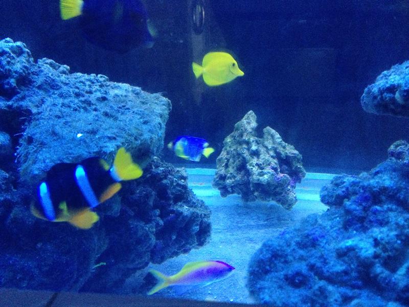 最近一直太忙,正好让鱼缸潜心养水,养水5个月,最近开始添加生物 第一批5条玫瑰,5条青魔各损失两条,2条黄金吊,一条紫吊状态不错,还有一条鸳鸯,3只清洁虾,一条六线龙 上周在欧蓉采购了一批美国鱼不错。6条夏威夷宝石,2条美国红雀,2条马尔代夫小丑,1条mini蓝仙,2条鬼王。。。多买了个陀螺脑 不过期间鄙视下伊罕加热棒,设置26度竟然把水加热到29度还没停,导致牺牲了2条夏威夷宝石,1条鬼王,1条六线龙。。。。再也不敢用他们加热棒了。。。 另外买了一套ab的植物培养系统,开始繁殖小球藻非常成功,现在已繁殖