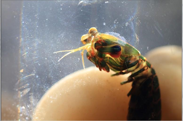 69 北京地区 69 五彩螳螂虾    上图,我放到了一个小瓶子里,这个