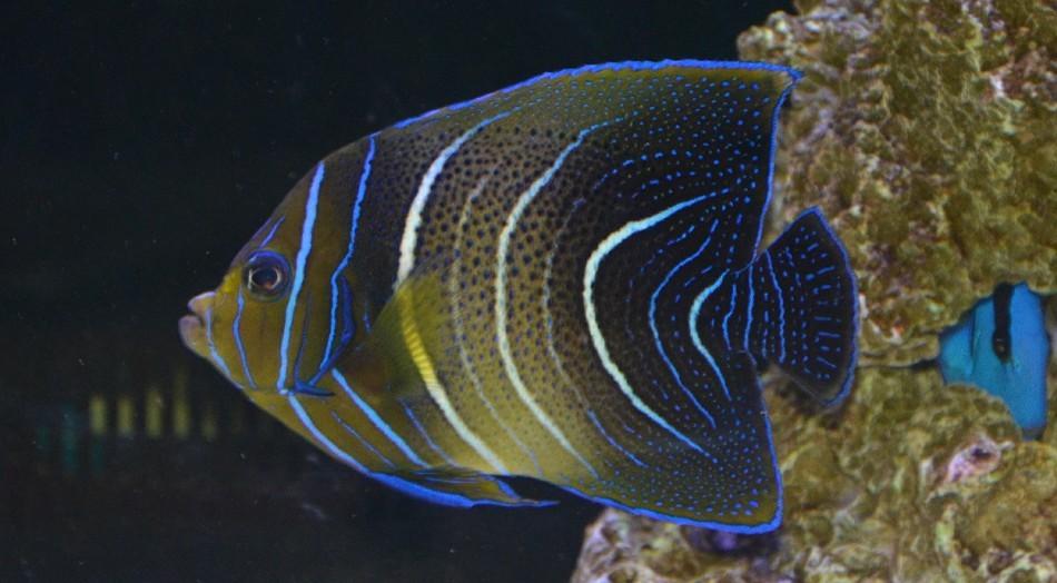 大连出 变身中蓝纹大龙虾,海水素 - 东北地区 - cmf鱼