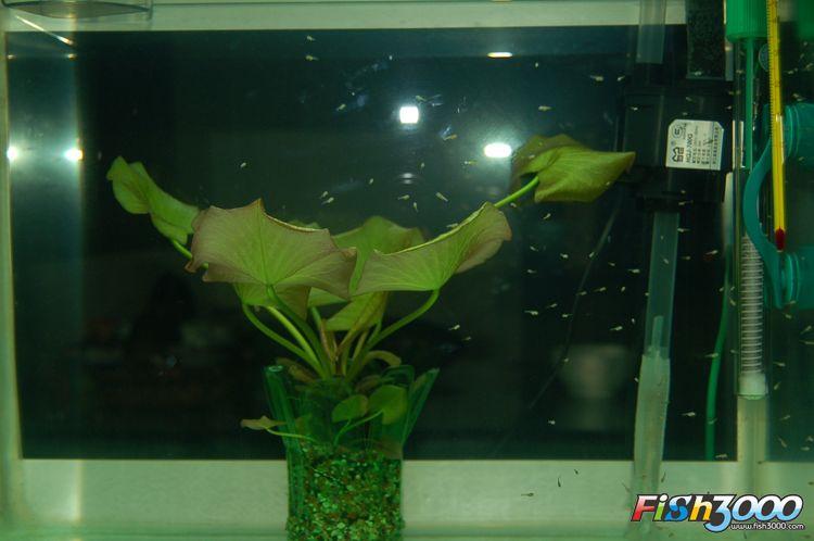 海水小丑鱼的繁殖----------详细篇---------全文完