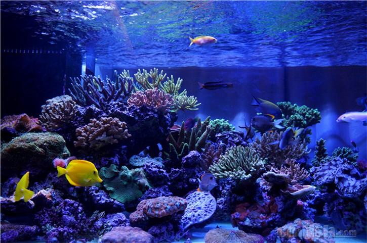 养海水鱼已经有几年了,最近几年工作比较忙,最多的时候我1年多没有上过这个论坛,遇到过传染病大量的死鱼,遇到过珊瑚大量死亡,杂藻丛生,我的一个好朋友论坛里鱼友jesusdou来我家串门说我的鱼缸是深海沉船。当时我看看鱼缸,我觉得我的缸比深海沉船还惨一些。但是海水的爱好一直坚持下来了。想想曾经无数次的想放弃这个爱好,但是每当看着我这些可爱的小鱼,我还是觉得它们可以给我的生活带来很多很多幸福,所以我决定。。。继续坚持我的海水梦。。。 建缸的过程遇到了一些曲折,从订缸到开缸,我等待了9个星期,中间想过要放弃,但是