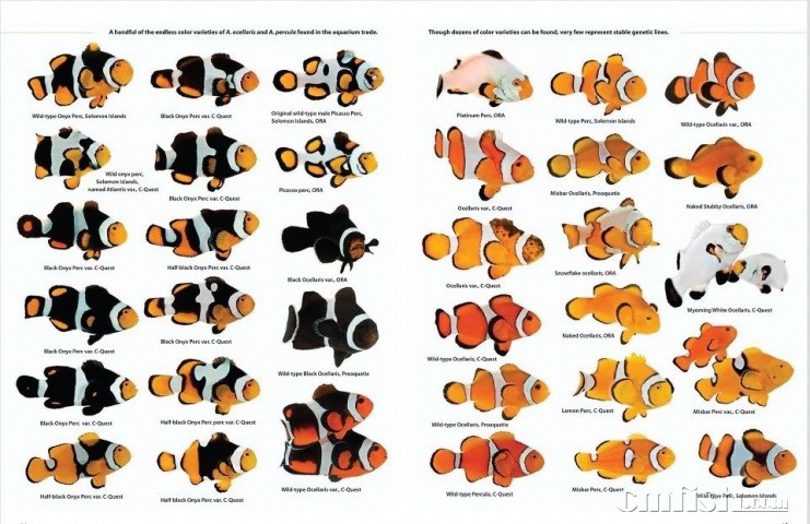 常见人工繁殖花纹变异公子类小丑鱼的名称和图例 现在常见人工繁殖花纹变异的小丑鱼很多,特别是美国ORA公司繁殖的。现从网上收集整理了常见人工繁殖的花纹变异公子类小丑鱼的名称和图例,供鱼友参考。 公子小丑的分类 一、天然公子小丑(野生、人工都有): 白纹边上没有黑的是普通公子
