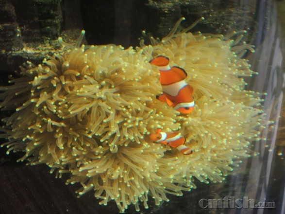海水生物讨论区※ 69 lps珊瑚及软体 69 谈谈鱼状态很好,就是养不