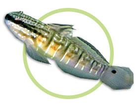 尾斑钝虾虎