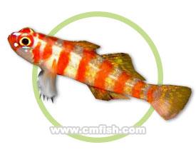红斑琉璃虾虎