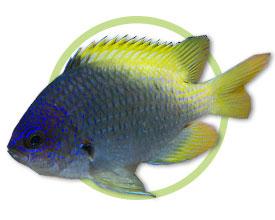 林氏光鳃鱼
