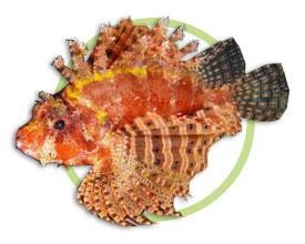 短须狮子鱼