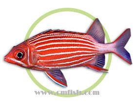 条纹金鳞鱼