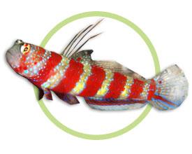 红斑节虾虎