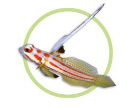白天线虾虎