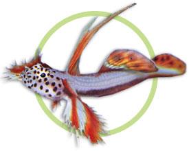 红天线虾虎