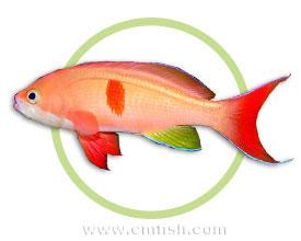 红斑海金鱼
