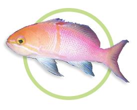 卡尔森海金鱼