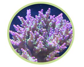 鹿角珊瑚(紫色)