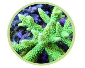 鹿角珊瑚(绿色)