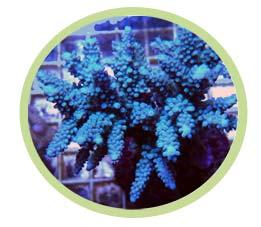 鹿角珊瑚(蓝色)