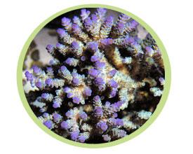 鹿角珊瑚(顶部颜色)