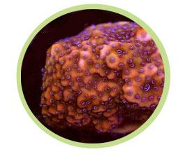 蔷薇珊瑚(表覆形)