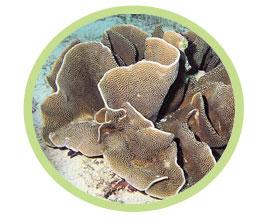 盘珊瑚(皱边)