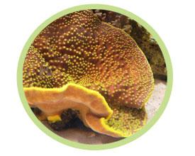 盘珊瑚(卷轴状)
