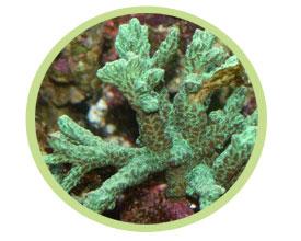 角珊瑚(荧光)