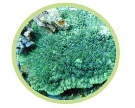角珊瑚(表覆形)