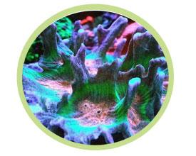 梳珊瑚(多刺状)
