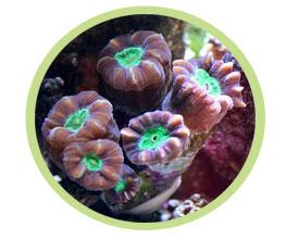 叉干星珊瑚