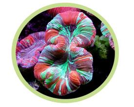 八字脑珊瑚