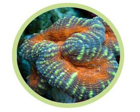 脑珊瑚(瓣叶形)