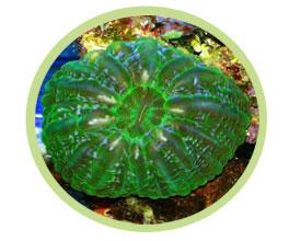 水晶脑珊瑚