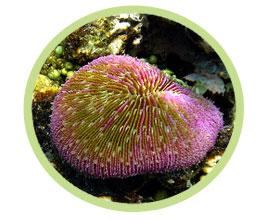 飞盘珊瑚(短须)