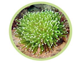 飞盘珊瑚(长须)