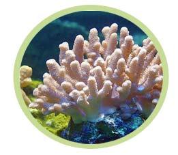 短指软珊瑚