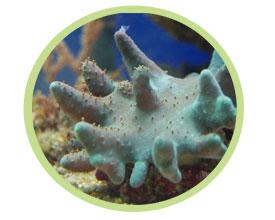 手指皮珊瑚