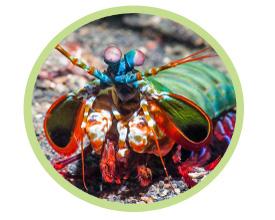 小丑螳螂虾